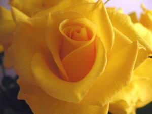 rose-1311351-640x480