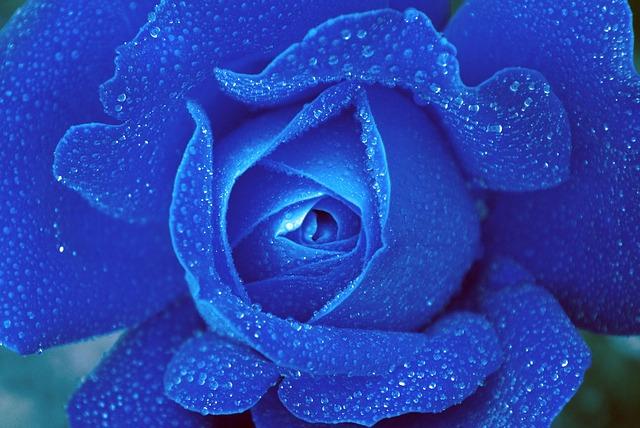 rose-817431_640