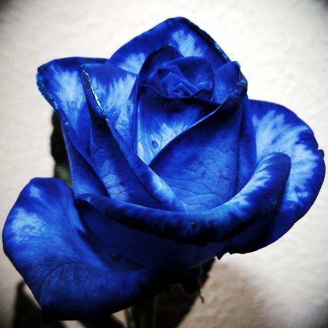 rose-201039_640