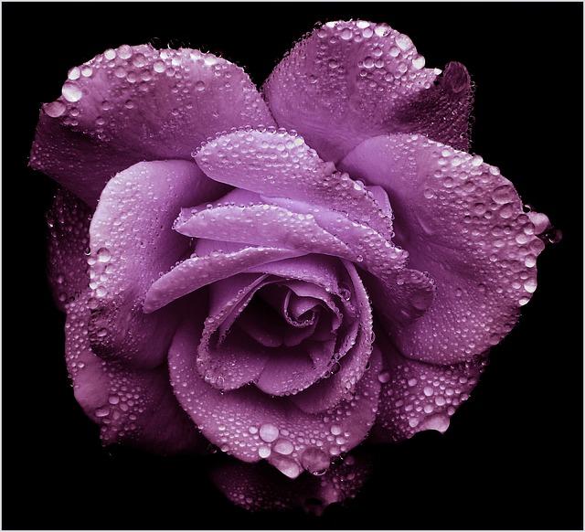 rose-655361_640